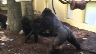 Houston Zoo Gorillas go World Star