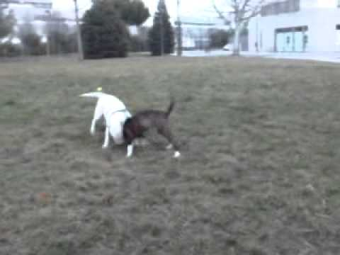 Pitbull vs Bull Terrier