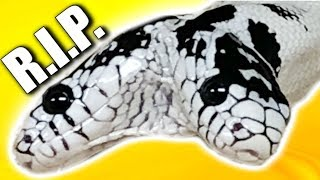 ANOTHER TWO HEADED SNAKE GONE.. RIP Cookies n Creme.. | BRIAN BARCZYK