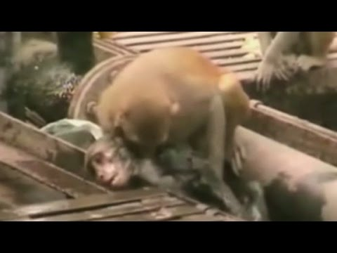 Monkey gives CPR to electrocuted friend