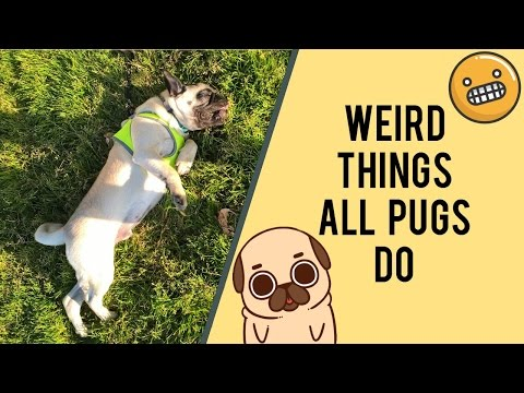 Weird Things All Pugs Do