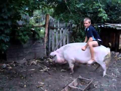 Паренек оседлал свинью: Крутой наездник