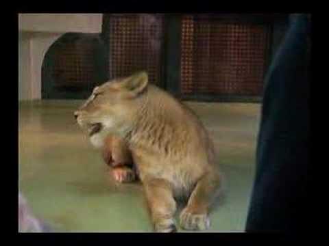 ライオンの双子の子ども、げんきとゆうき 3ヵ月