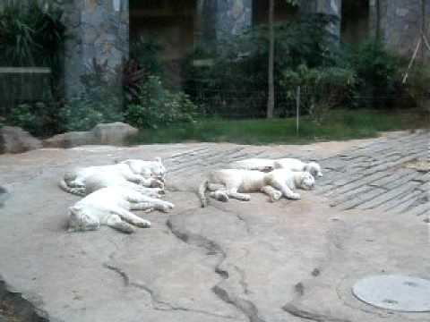 5隻雪老虎瞓覺