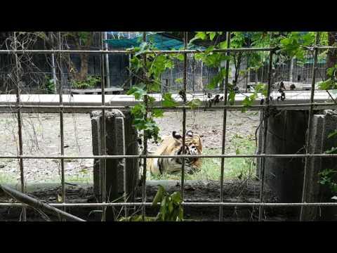 Злые тигры нападают на людей жестокие кадры)
