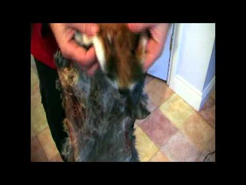 Drying and Stretching The Hide - Fox Fur Bag Part  6