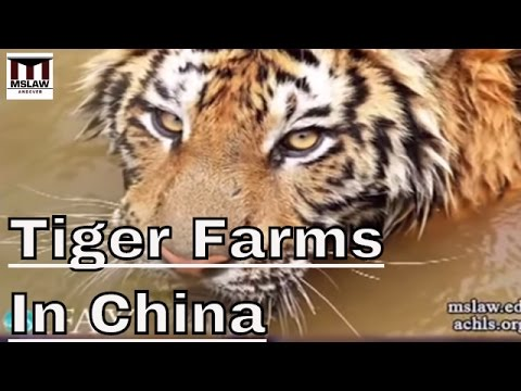 Tiger Farming - Breeding Monsters With No Use In Conservation.