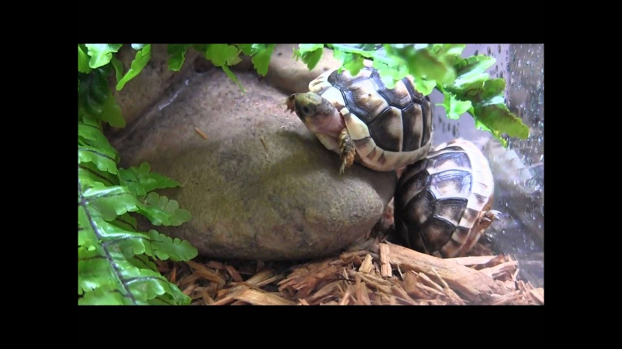 Marginated Baby Tortoises Baby cb Marginated Tortoises