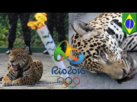 Jaguar killed at Olympic torch lighting: Brazil botches torch ceremony in Manaus - TomoNews