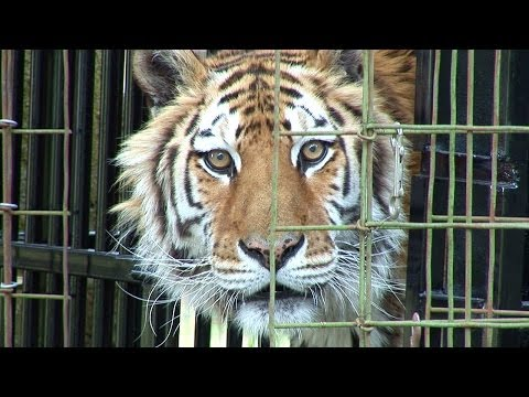 Tiger Medical Exam - Farewell Kimba... video