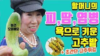 Makrae's Farm Prospered with Green Pepper, Green Pepper Fries [Korea Grandma]