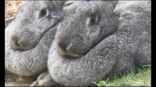 Meet the giant Flemish rabbits