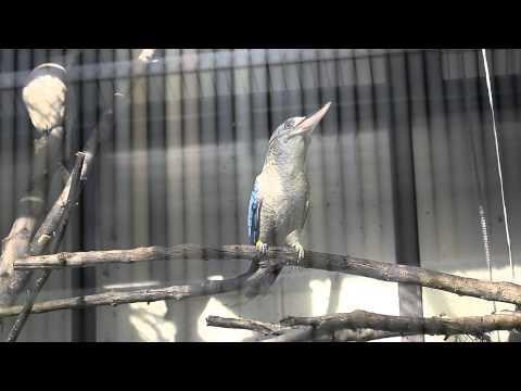 アオバネワライカワセミの鳴き声