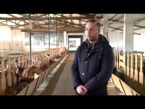Odlicna farma koza i nova krv u Srbiji