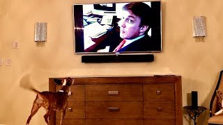 FUNNY - Chihuahua Gets Excited by Trump on TV - Goes Comatose with Obama