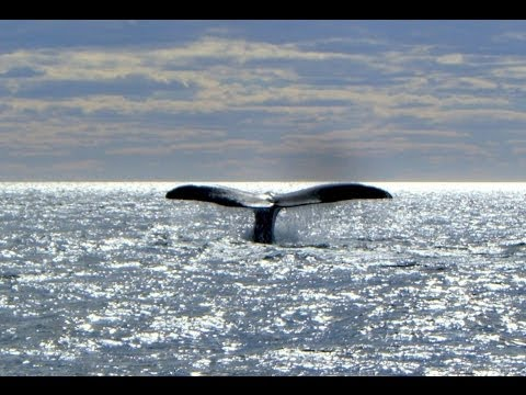 Southern Right Whale, Puerto Pirámides, Peninsula Valdes, Chubut Province, Argentina, South America