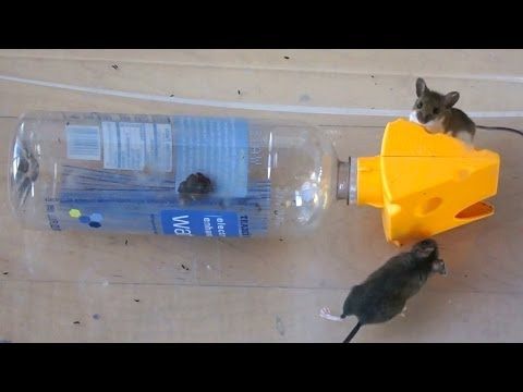 Catching 2 Mice in a Plastic Bottle