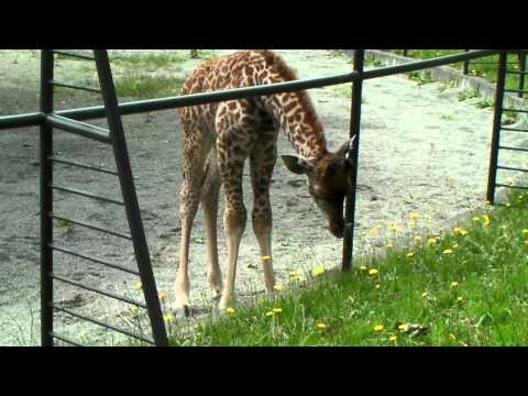 タンポポを食べるキリンの赤ちゃん 円山動物園 Giraffe