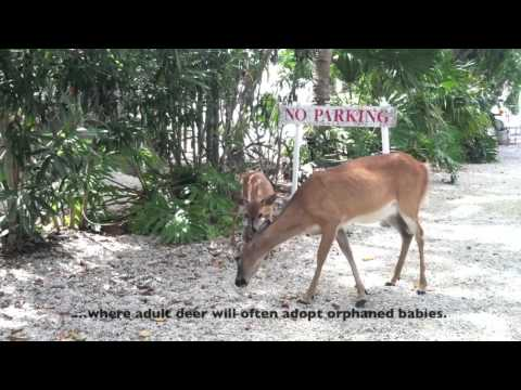 The Key Deer Around Deer Run B&B - Big Pine Key, FL