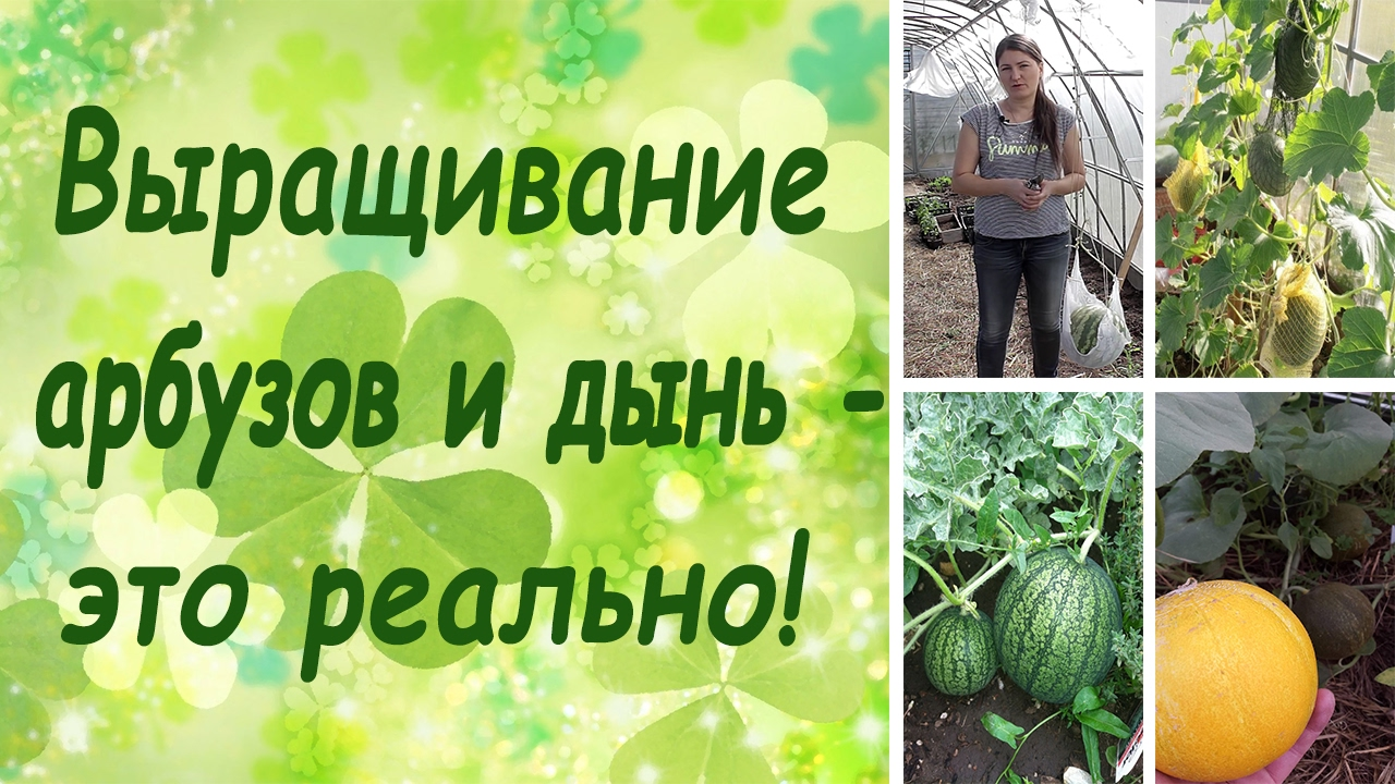 Выращивание арбуз и дыни 86