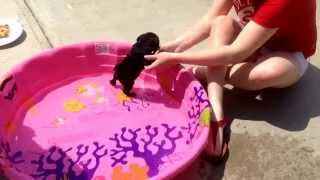 Luna the baby pug's first time in the pool ❤️