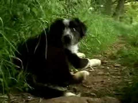 Border Collie Sheepdog Cute Dogs Puppies playing Movie Trailer Video