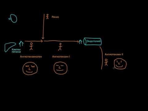 Общий обзор ренин-ангиотензин-альдостероновой системы. Клетки и гормоны
