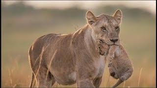 Sự thật đằng sau tấm ảnh sư tử mẹ nuốt con...