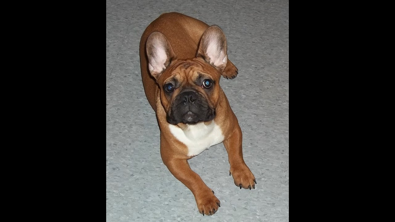 French Bulldog Red Fawn Red Fawn French Bulldog