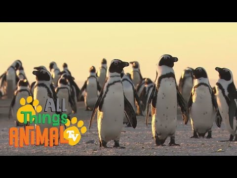 PENGUINS: Ed & Eppa series. Animal videos for children and kids. Preschool | Kindergarten learning.