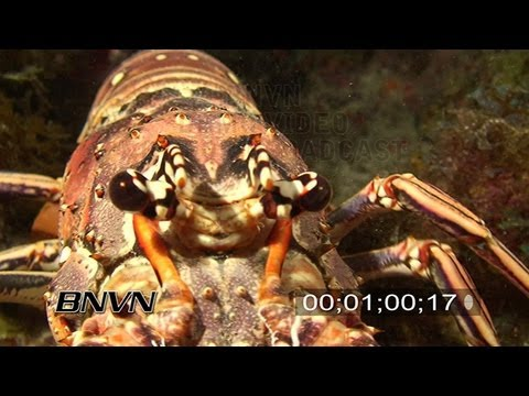 7/20/2007 Close Up Scuba diving footage of a big lobster at night