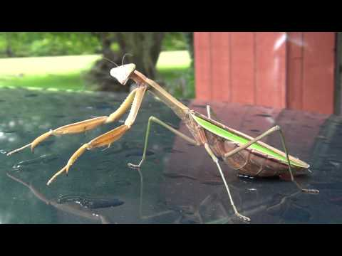 Giant Praying Mantis, pregnate, Oregonia Ohio 10-1-11