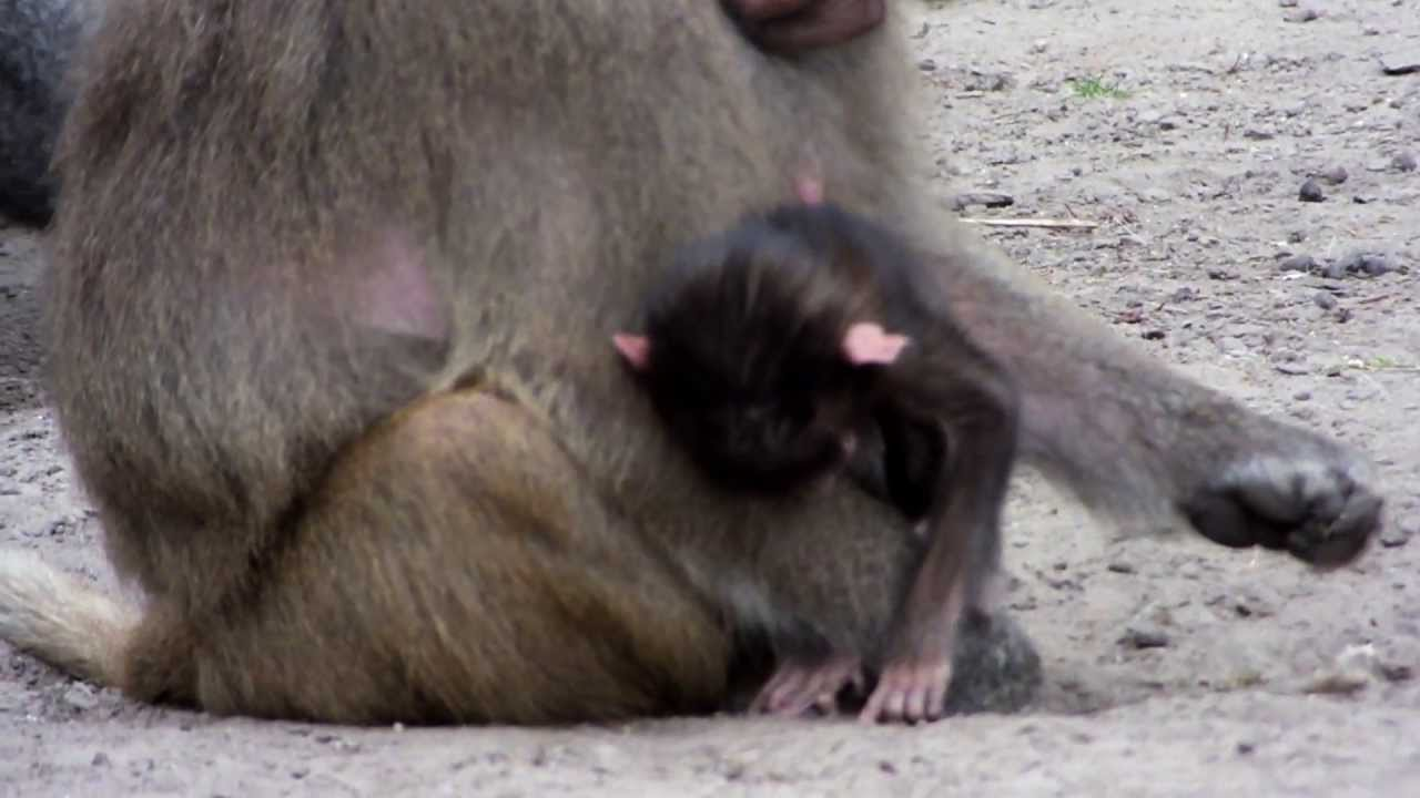 Baboon baby
