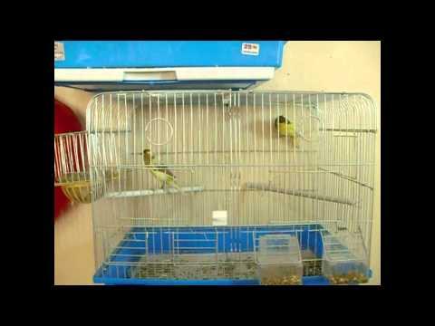 king13870 - مشاهد من حنان طيور الكناري