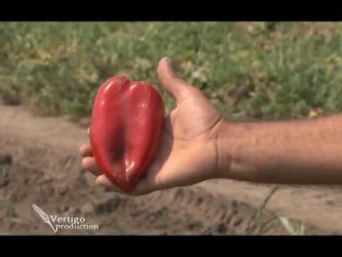 Proizvodnja paprika u plastenicima   U nasem ataru 450