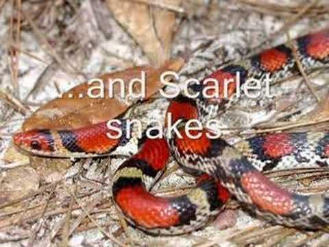 Snake Rhyme For Coral Snake Coral Snake Dangerously