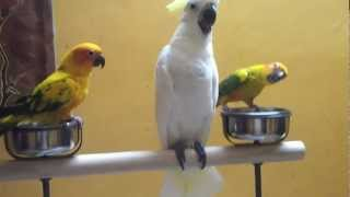 Tamed cockatoo baby & sun conure baby in (Preethi Farms)