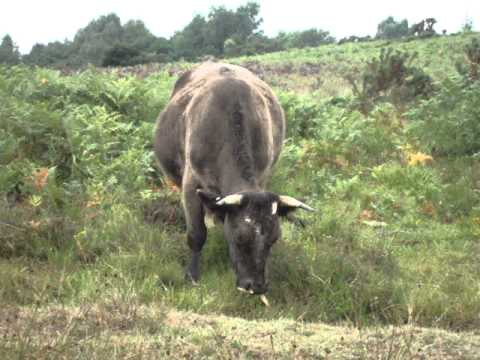 Ashdown Forest Cow Chewing The Wood