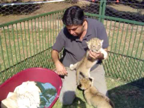 The Elephant Sanctuary - Small Lion Cubs