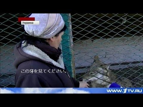 オオカミが犬を食べに来る2 ウクライナ ロシアTV