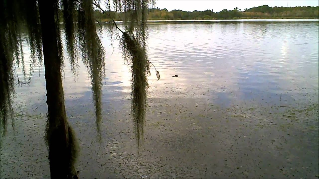 West shore of lake tarpon alligators youtube for Lake tarpon fishing