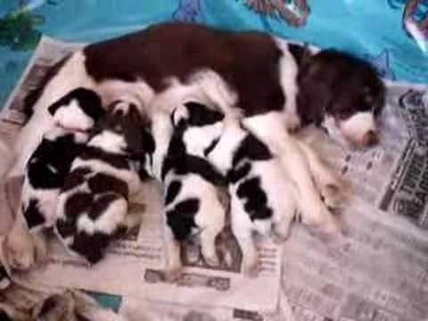 Enlish Springer Spaniel Puppies Video