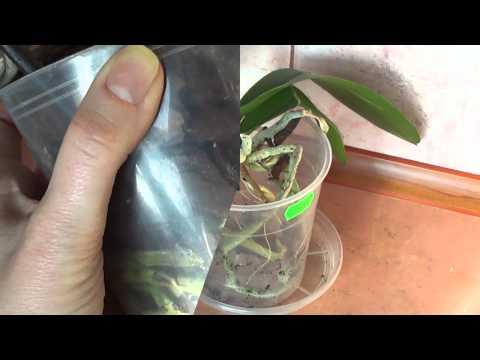 Пересадка уценённой орхидеи от А до Я.