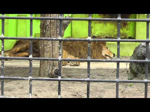 2011年7月24日 釧路市動物園 ライオン