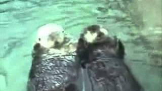sea otter couple -loving you ahhhhhhhh :)