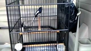 Suara Burung Kacer Gacor Top Markotop