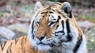 রয়েল বেঙ্গল টাইগার ( Royal Bengal Tiger )