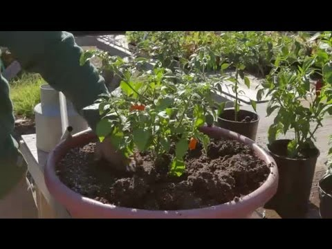 How to Transplant Bell Peppers : Growing Peppers