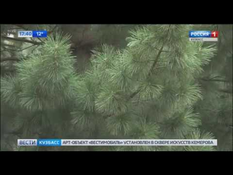 В честь юбилея кузбасского телевидения высадили 60 кедров