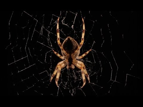 Beautiful Spider Web Build Time-lapse | BBC Earth